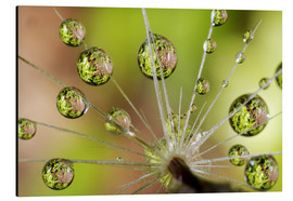 Print på aluminium  Drops of water on dandelion - Christopher Talbot Frank