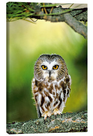 Lærredsbillede  Northern saw-whet owl - Dave Welling