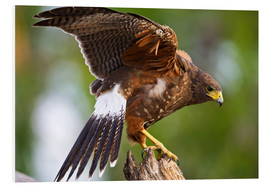 Print på skumplade  Desert buzzard with wide wings - Larry Ditto