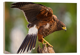 Print på træ  Desert buzzard with wide wings - Larry Ditto