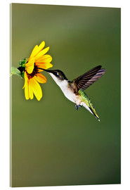 Akrylbillede  Ruby-throated Hummingbird at sunflower - Larry Ditto