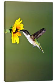 Lærredsbillede  Ruby-throated Hummingbird at sunflower - Larry Ditto