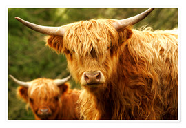 Premium-plakat  Highland Cattle in Yorkshire - Jay Sturdevant