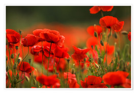 Premium-plakat Red Poppy Flowers 14