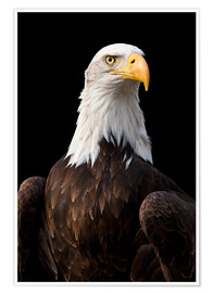 Premium-plakat  Bald Eagle - Jan Schuler