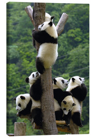 Lærredsbillede  Panda babies on the climbing tree - Pete Oxford