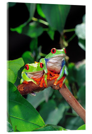 Akrylbillede  Rotaugenlaubfrosch-couple - David Northcott