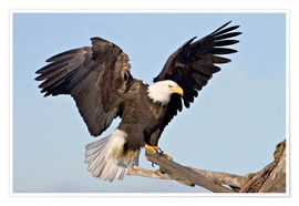 Premium-plakat  Eagle with outstretched wings - Charles Sleicher