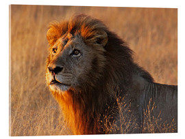 Akrylbillede  Lion in the evening light - Africa wildlife - wiw
