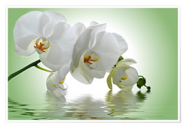 Premium-plakat  Orchid with Reflection - Atteloi