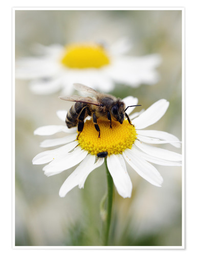 Premium-plakat Bee on the camomile lawn
