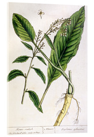 Akrylbillede  Horseradish, plate 415 from 'A Curious Herbal', published 1782 - Elizabeth Blackwell