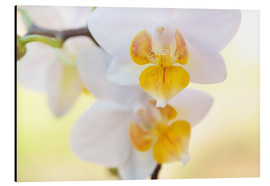 Print på aluminium  White orchids against soft yellow background - Julia Delgado