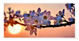 Premium-plakat  Cherry blossoms against evening under the setting sun - Julia Delgado