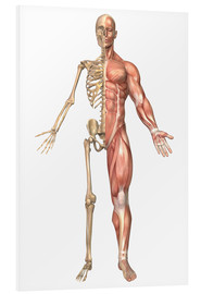 Print på skumplade  The human skeleton and muscular system, front view - Stocktrek Images