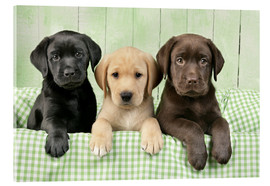 Akrylbillede  Three Labradors - Greg Cuddiford