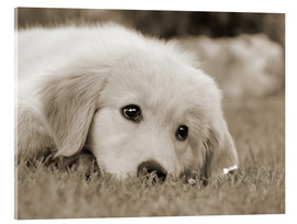 Akrylbillede  Golden Retriever cute puppy, monochrom - Katho Menden