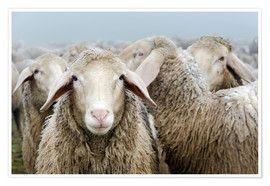 Premium-plakat  Flock of sheep - Michael Valjak
