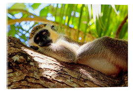 Akrylbillede  Green monkey sleeping, Barbados - Matteo Colombo