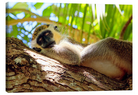 Lærredsbillede  Green monkey sleeping, Barbados - Matteo Colombo