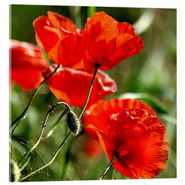 Akrylbillede  Luminous poppy on meadow - Dirk Driesen