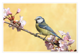 Premium-plakat  Blue tit on a branch of cherry - Uwe Fuchs