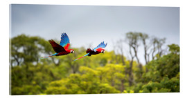 Akrylbillede  Green-winged Macaws on journey - Alex Saberi