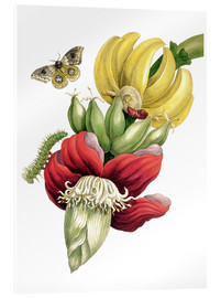 Akrylbillede  Flowering banana and Automeris - Maria Sibylla Merian