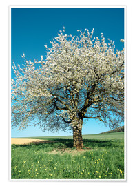 Premium-plakat Blossoming cherry tree in spring on green field with blue sky