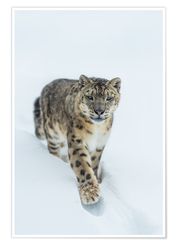 Premium-plakat Snow Leopard in deep snow