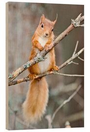 Print på træ  Red squirrel on a branch - Duncan Shaw