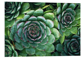 Print på skumplade  'Hens and chicks' succulents - Kaj R. Svensson