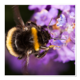 Premium-plakat  Bumble bee collecting pollen - Power and Syred