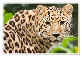 Premium-plakat  Amur leopard - Power and Syred