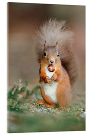 Akrylbillede  Red squirrel eating a hazel nut - Duncan Shaw
