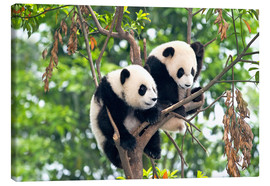 Lærredsbillede  Young Pandas in a tree - Tony Camacho