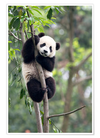 Premium-plakat  Panda on a tree - Tony Camacho