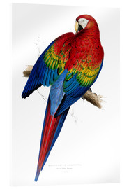 Akrylbillede  Red & Yellow Macaw - Edward Lear
