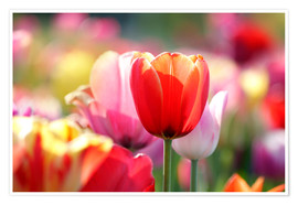 Premium-plakat Beautiful colorful Tulips