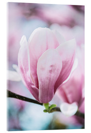Akrylbillede  Closeup of blossoming magnolia in spring - Peter Wey