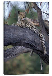 Lærredsbillede  Leopard is resting on tree - Paul Souders