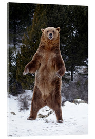 Akrylbillede  Grizzly Bear standing in the snow - James Hager