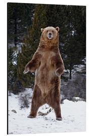 Print på aluminium  Grizzly Bear standing in the snow - James Hager