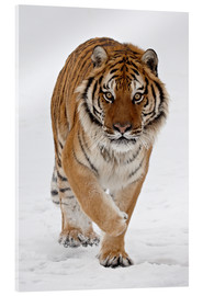 Akrylbillede  Siberian Tiger in the snow - James Hager