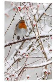 Akrylbillede  Robin, with berries in snow - Ann & Steve Toon