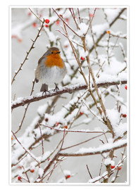 Premium-plakat  Robin, with berries in snow - Ann & Steve Toon