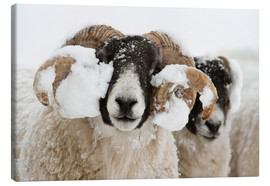 Lærredsbillede  Northumberland blackface sheep in snow, Tarset, Hexham, Northumberland, UK - Ann & Steve Toon