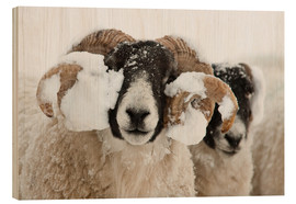 Print på træ  Northumberland blackface sheep in snow, Tarset, Hexham, Northumberland, UK - Ann & Steve Toon