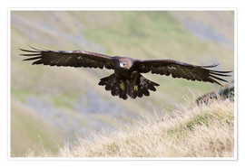 Premium-plakat  Golden eagle, Aquila chrysaetos, flying over moorland, captive, UK - Ann & Steve Toon