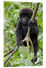 Akrylbillede  Infant mountain gorilla (Gorilla gorilla beringei) from the Kwitonda group climbing a vine, Volcanoe - James Hager